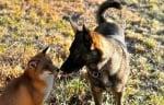 Затрогващо приятелство между домашно куче и дива лисица