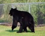 Упояване на мечка