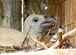 В Стара планина се излюпи първото бебе белоглав лешояд, кръстиха го Мишел