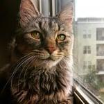 Възрастна котка
