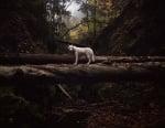 Wolf на дърветата