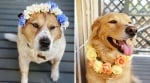 Закичване на кучето с корона или гердан от цветя