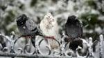 Гълъбите във Варна - жертви на студа