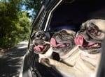 Зареждащи снимки на кучета, които обожават да се возят в кола