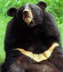 """Защо хималайските мечки се наричат """"лунни мечки""""?"""