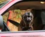 Защо кучето лае в колата