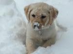 Защо кучето обича да яде сняг