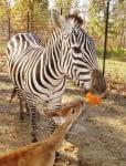 Зебра и сърна се разбират помежду си като приятели