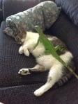 Зелен гущер върху котка