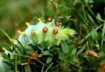 Зелена гусеница