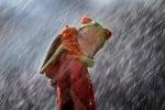 Зелена жабка в дъждовно време