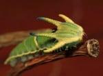 Зелена рогата гъсеница