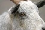 Какви са зениците на козите?