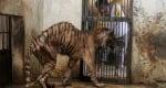 Зоопарк на смъртта, тигър
