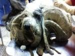 Зоозащитници подстригват куче